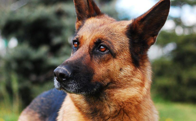 Afterriss bzw. Analfissur bei Hunden